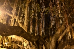 Banyan tree in Lahaina